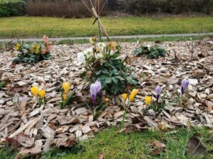 Bbridge CC tulips 300x225